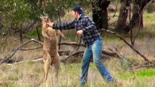 man punches kangaroo prende a pugni un canguro