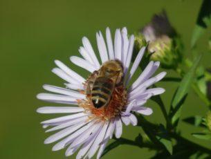 giornata mondiale delle api