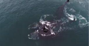 balene che si abbracciano
