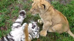 cucciolo di leone vs cucciolo di tigre