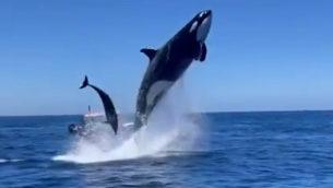 orca vs delfino