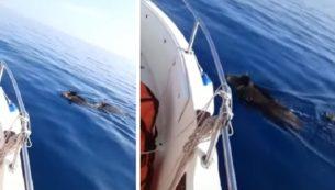 cinghiali in mare