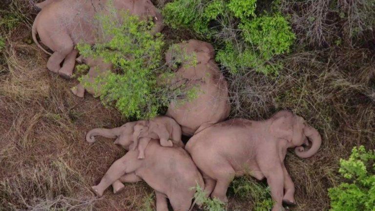 elefanti erranti cina