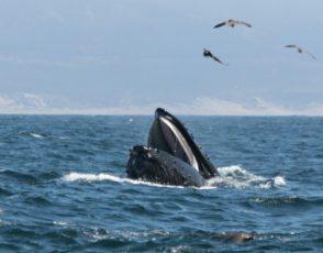 uomo ingoiato balena