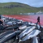 massacro delfini isole faroe