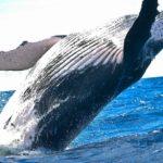 vomito di balena capodoglio ambra grigia