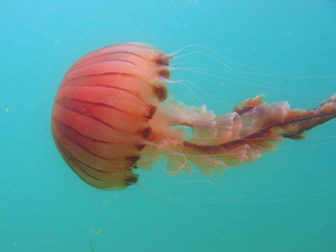 Chrysaora hysoscella medusa