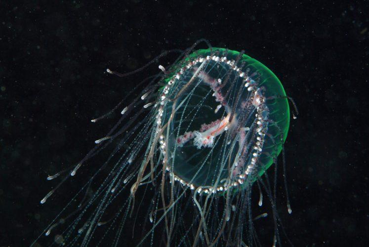 Olindias phosphorica medusa
