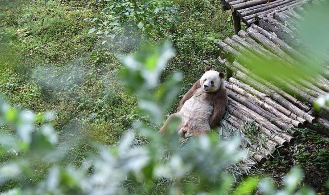panda marrone