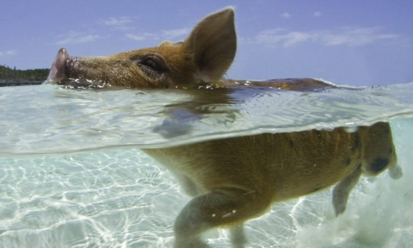 pig beach isola maiali bahamas