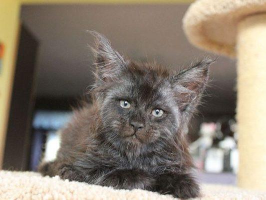 gatto valkyrie (1)