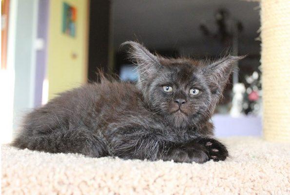 gatto valkyrie 1