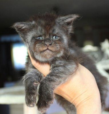 gatto valkyrie 2