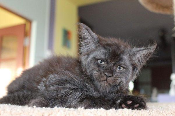 gatto valkyrie 4